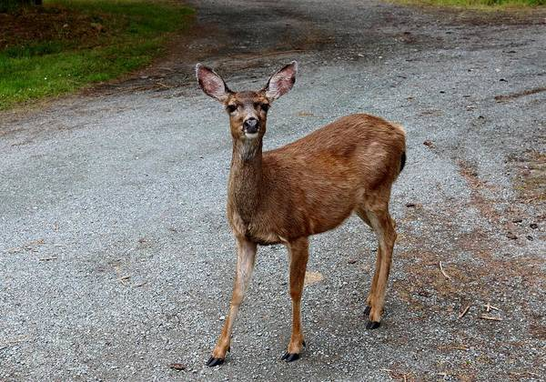 Photograph - Hello Deer  by Christy Pooschke