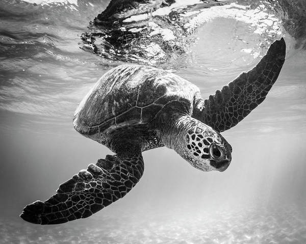 Turtle Photograph - Hello Sea Turtle by Tammy Ascher