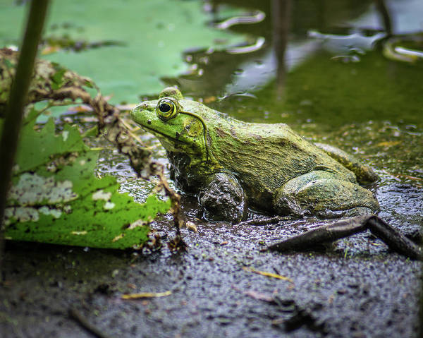 Bull Frog Photograph - Hello Mudder by Bill Pevlor