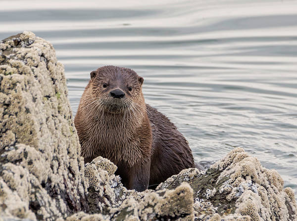 Photograph - Hello Otter by Loree Johnson