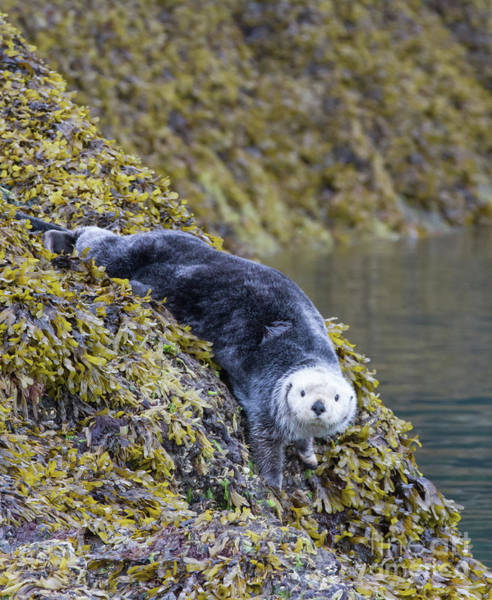 Photograph - Hello Sea Otter by Chris Scroggins