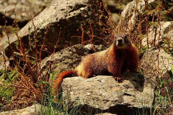 Marmot Photograph - Hello There by Christiane Schulze Art And Photography