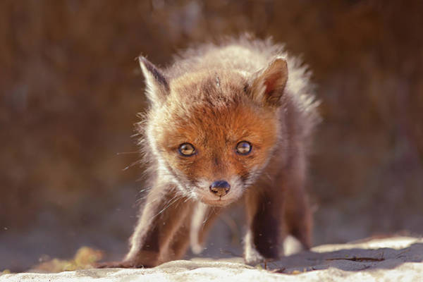 Wall Art - Photograph - Cuteness Overload Series - Red Fox Baby by Roeselien Raimond