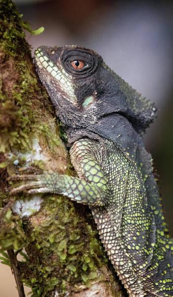 Photograph - Helmeted Iguana Costa Rica by Joan Carroll