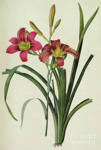 Wall Art - Painting - Hemerocallis Fulva  Lily by Pierre Joseph Redoute