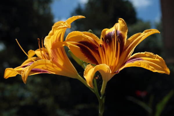 Photograph - Hemerocallis by John Moyer