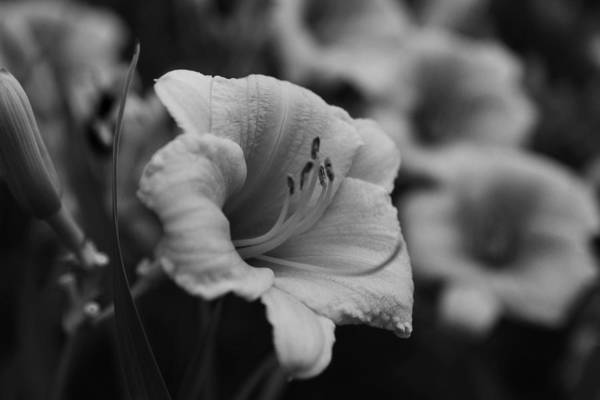 Photograph - Hemerocallis 'stella D'oro'  Daylilies Black And White by Toby McGuire