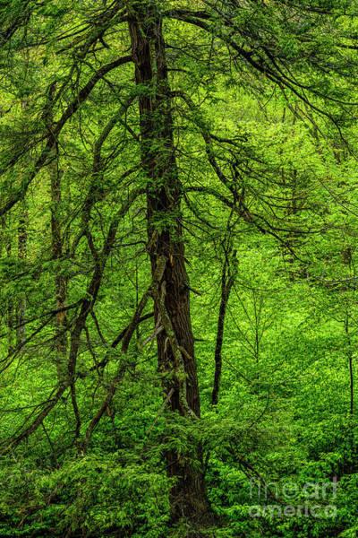 Photograph - Hemlock Monongahela National Forest by Thomas R Fletcher