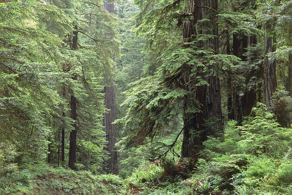 Wall Art - Photograph - Hemlocks And Redwoods In A North American Forest by Kaj R. Svensson