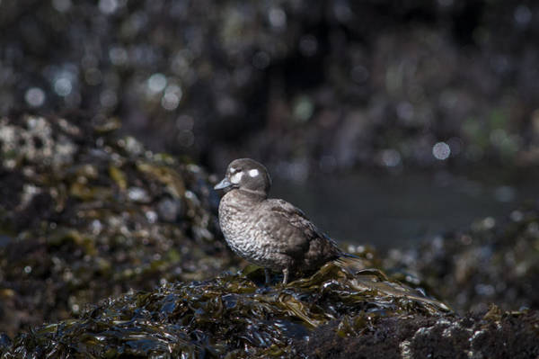Photograph - Hen Harlequin Duck by Robert Potts