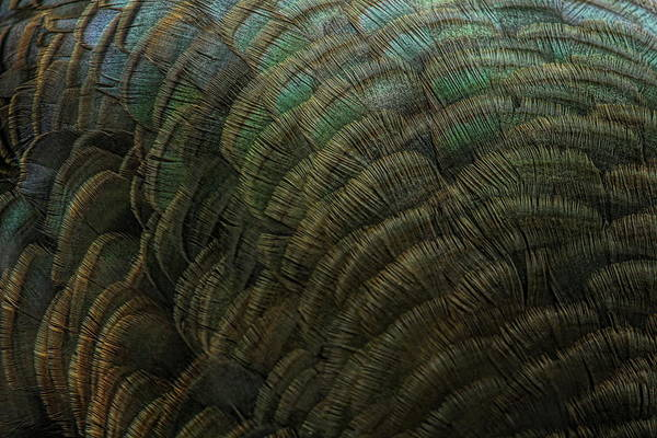 Photograph - Hen Turkey Feather Abstract  by Dale Kauzlaric