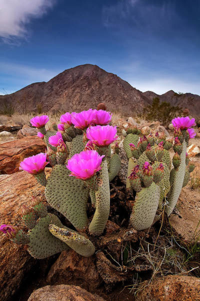 Desert Plant Photograph - Henderson Canyon Beavertail by Peter Tellone