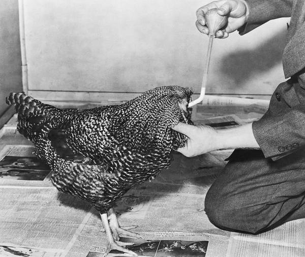 Cock Photograph - Henry The Headless Rooster by Underwood Archives