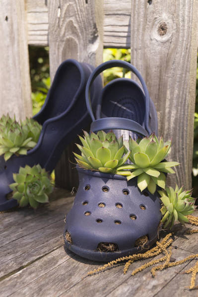 Photograph - Hens And Chicks In An Old Clog by MM Anderson