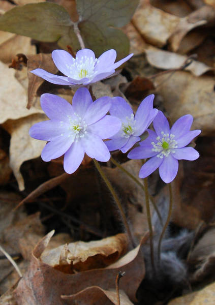 Photograph - Hepatica Wildflowers In Early Spring by Cascade Colors