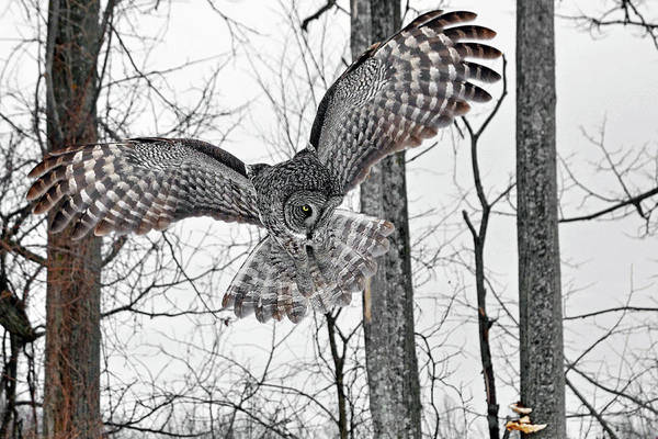 Wall Art - Photograph - Her Majesty The Great Gray Owl by Asbed Iskedjian