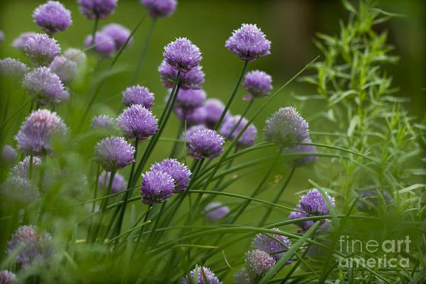 Herb Garden. Art Print