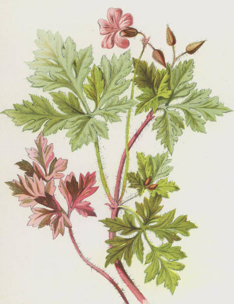 Wall Art - Painting - Herb-robert by Frederick Edward Hulme