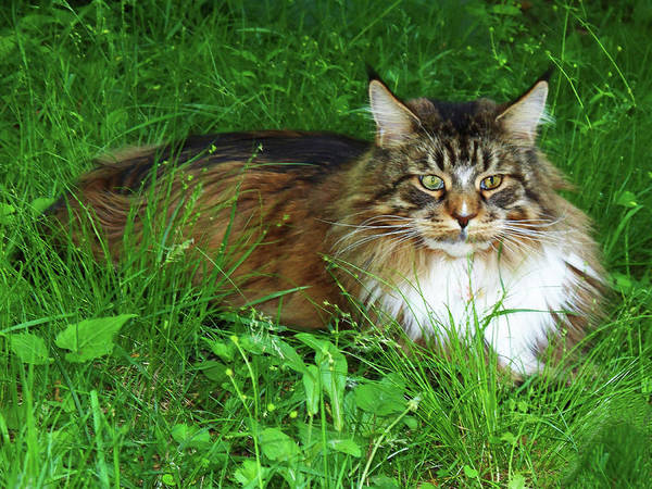Photograph - Hercules Maine Coon Elegance by Roger Bester