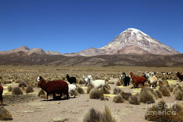 Photograph - Herd Of Alpacas And Sajama Volcano Bolivia by James Brunker