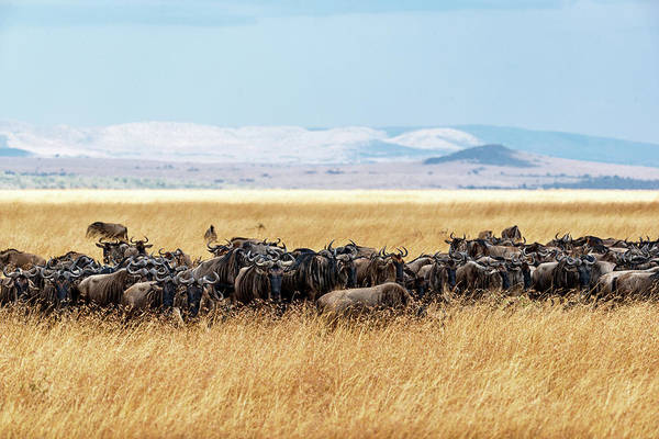 Wall Art - Photograph - Herd Of Buffalo In Tall Kenya Grass by Susan Schmitz