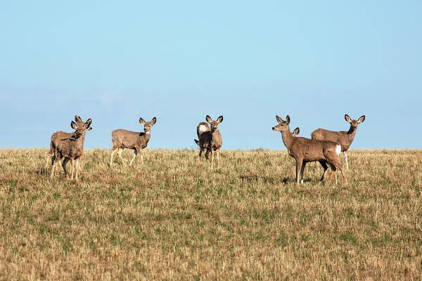 Mule Deer Photograph - Herd Of Deer by Todd Klassy