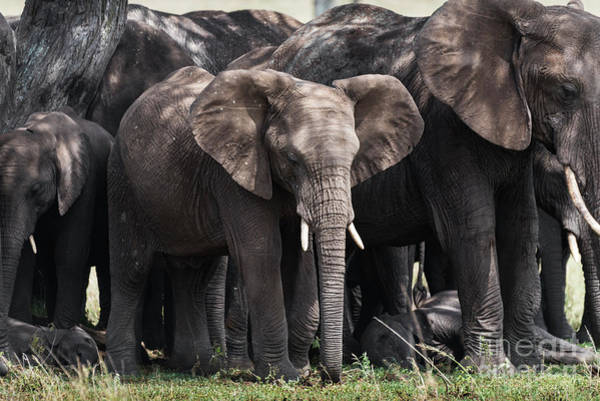 Photograph - Herd Of Elephants In The Shade In Serengeti by RicardMN Photography
