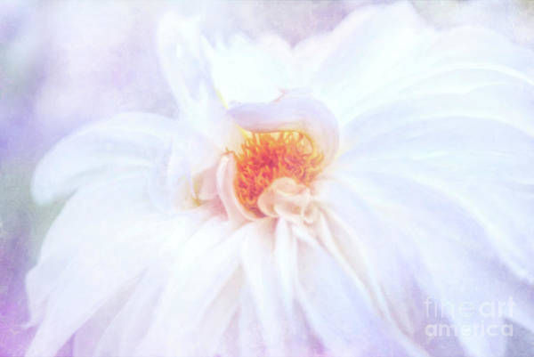 Photograph - Here Comes The Bride - A Beautiful White Dahlia by Anita Pollak