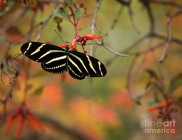 Passion Butterfly Photograph - Here For A Moment by Sabrina L Ryan