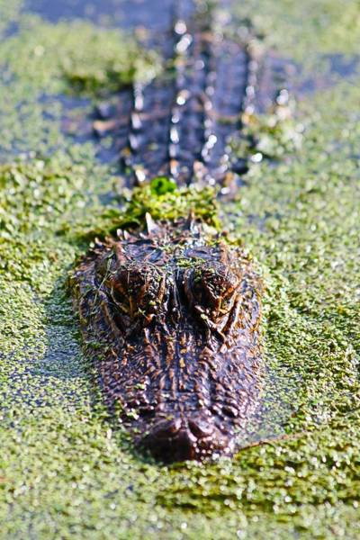 Photograph - Here Is Looking At You Said The Alligator by Carol Montoya