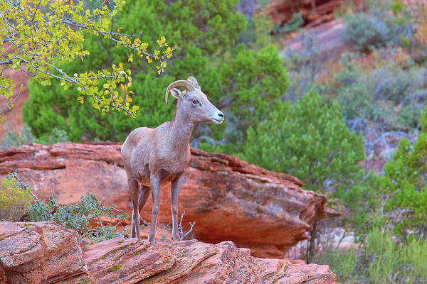 Goat Rocks Photograph - Here's Looking At Ewe by Brian Knott Photography