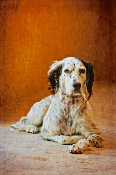 Photograph - Being The Dog, English Setter  by Flying Z Photography by Zayne Diamond