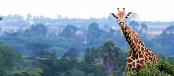 Wall Art - Photograph - Here's Looking At You Kid.  Giraffe In Kenya Africa by Ron Bartels