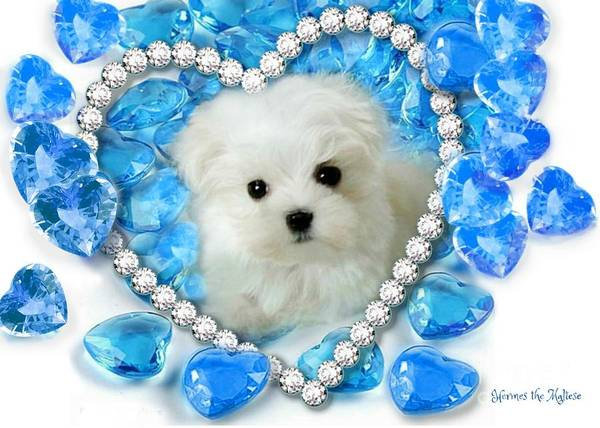 Mixed Media - Hermes The Maltese And Blue Hearts by Morag Bates