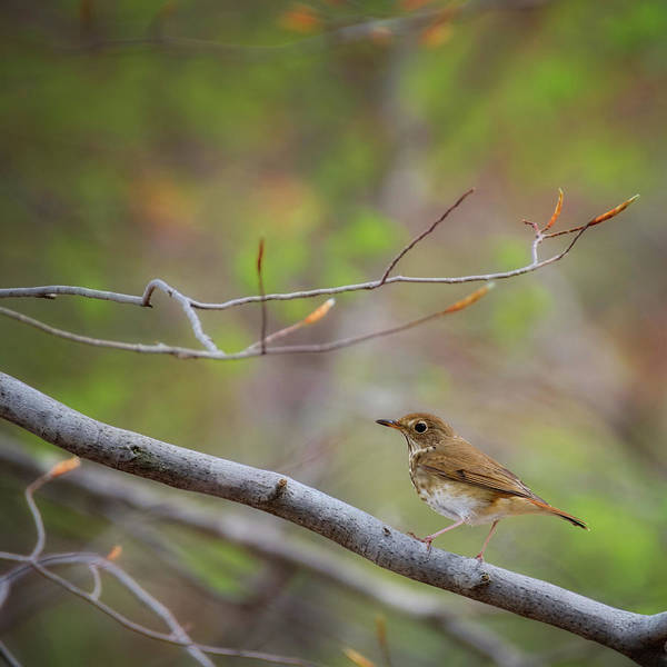 Photograph - Hermit Thrush Square by Bill Wakeley