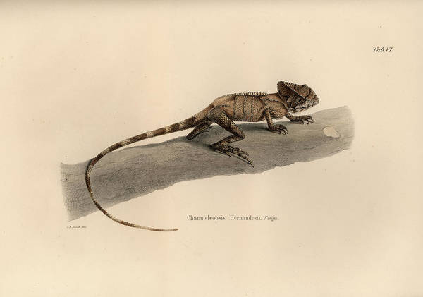 Drawing - Hernandez's Helmeted Basilisk, Corytophanes Hernandesii by Friedrich August Schmidt