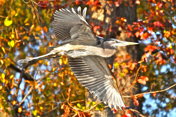 Photograph - Heron Against Fall Foliage by Don Mercer