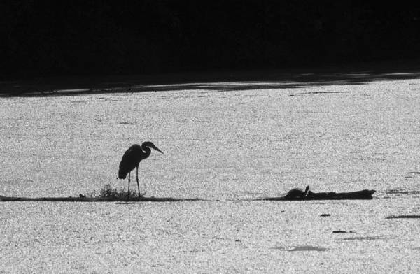 Photograph - Heron And Turtle In Black And White by Paul Ross