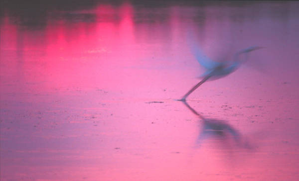 Photograph - Heron At Sunset by Ralph Fahringer
