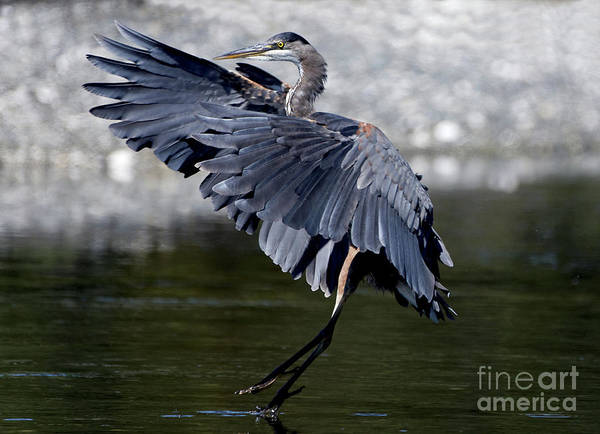 Photograph - Heron At The Lagoon by Sue Harper