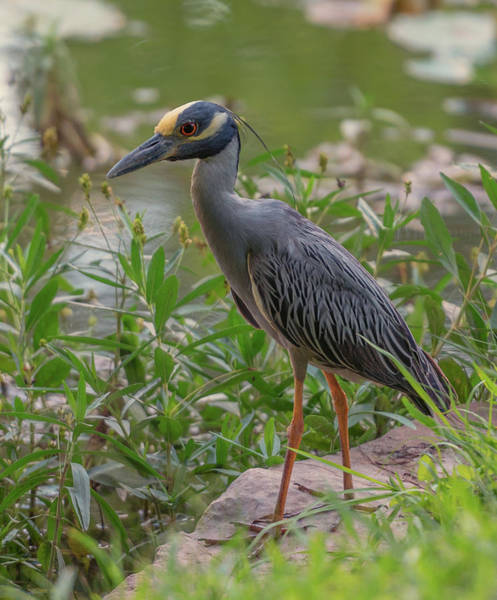 Photograph - Heron Closeup by John Johnson