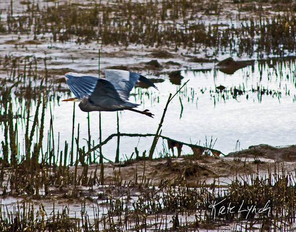 Photograph - Heron Flight by Kate Lynch