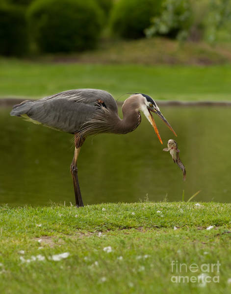 Photograph - Heron Flip'n Catfish by Beve Brown-Clark Photography