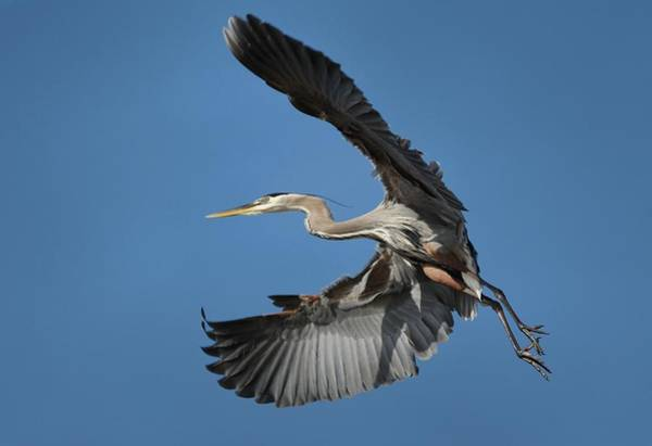 Wall Art - Photograph - Heron Fly By by Fraida Gutovich
