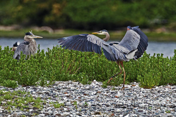 Photograph - Heron Greeting by Sue Harper