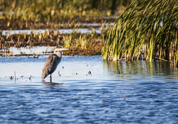 Heron - Horicon Marsh - Wisconsin Art Print