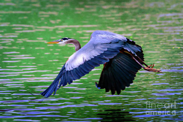 Honor Heights Park Photograph - Heron In Flight At Honor Heights Park by Tamyra Ayles