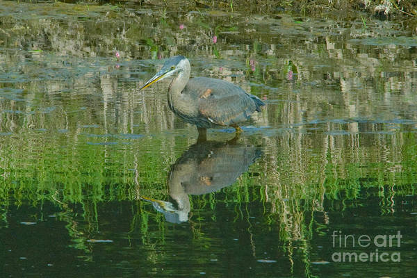 Mission Bc Photograph - Heron In Mud by Rod Wiens