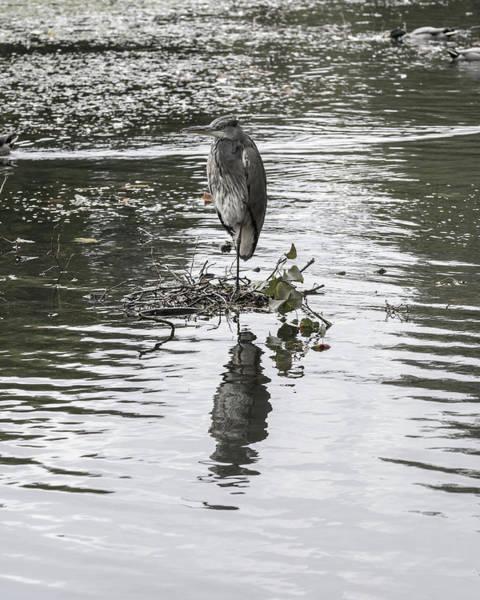 Photograph - Heron In Public Park B by Jacek Wojnarowski