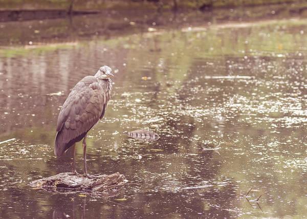 Photograph - Heron In Public Park E by Jacek Wojnarowski
